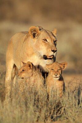 Adesivo Leonessa con cuccioli giovane Leone (Panthera leo) nella luce del mattino, deserto del Kalahari, Sud Africa.