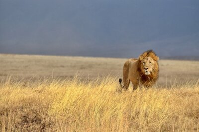 Adesivo Lonely Lion