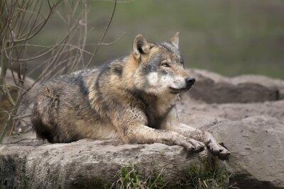 Adesivo Loup gris