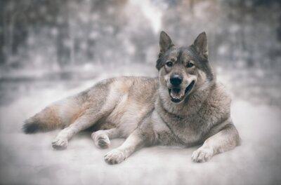 Adesivo Lupo / Felice di lupo sulla neve sfondo.