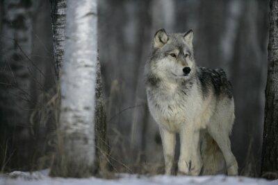 Adesivo Lupo grigio, Canis lupus