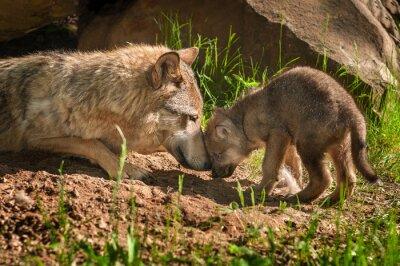 Adesivo Lupo grigio (Canis lupus) Madre e Pup tocco Fuori Den