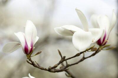 Adesivo Magnolia.