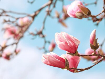 Adesivo Magnolia albero in fiore in primavera