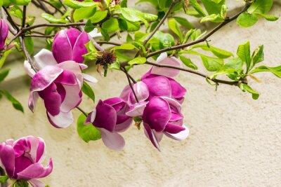 Adesivo magnolia fiori su sfondo blury