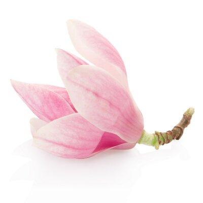 Adesivo Magnolia, rosa fiore di primavera su bianco, la saturazione percorso