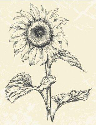Adesivo Mano di girasole disegnato con foglie ans stelo isolato su sfondo con texture