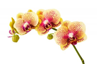 Adesivo Orchid flowers isolated on white background.
