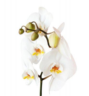 Adesivo orchidea, isolato su sfondo bianco
