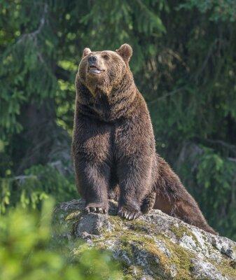 Adesivo orso bruno maschio