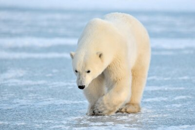 Adesivo Orso polare a piedi sul ghiaccio blu.