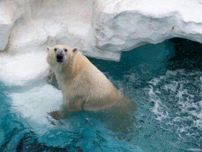 Adesivo orso polare del Nord
