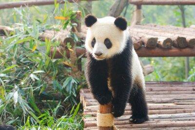 Adesivo Panda gigante curiosamente in piedi, Chengdu, Sichuan, Cina