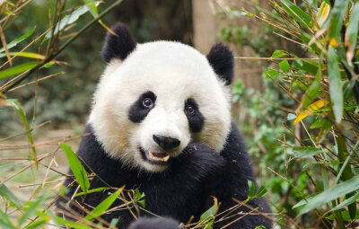 Adesivo Panda gigante mangiando bambù, Chengdu, Cina