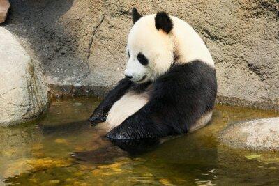Adesivo Panda gigante seduto in acqua