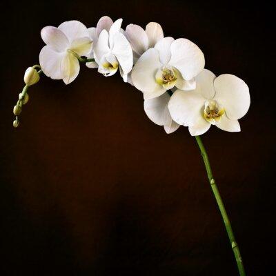 Adesivo Phalaenopsis orchidea