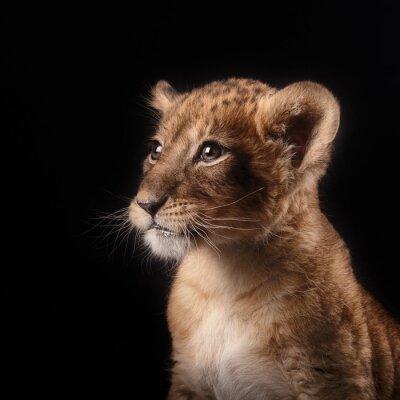 Adesivo piccolo cucciolo di leone su sfondo nero