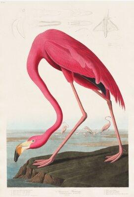 Adesivo Pink Flamingo from Birds of America (1827) di John James Audubon (1785-1851), inciso da Robert Havell (1793-1878)