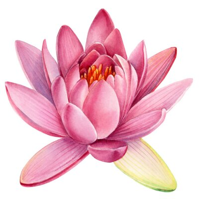 Adesivo Pink lotus flower on an isolated white background, watercolor clipart, water lily