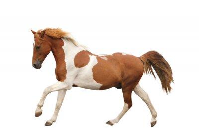 Adesivo Pony Skewbald galoppo isolato su bianco