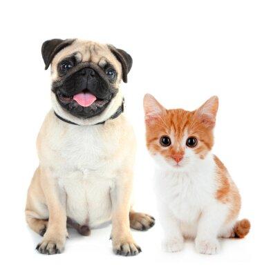 Adesivo Pug cane divertente e piccolo gattino rosso isolato su bianco