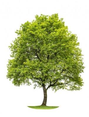 Adesivo Quercia verde isolato su sfondo bianco. Natura Oggetto
