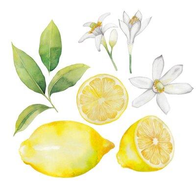 Adesivo raccolta di limone Acquerello