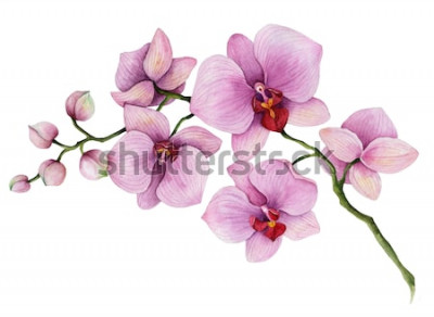 Adesivo Ramo dell'orchidea dell'acquerello, illustrazione floreale disegnata a mano isolata su un fondo bianco.