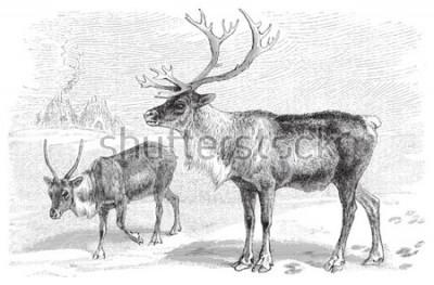Adesivo Reindeer (Rangifer tarandus) / vintage illustration from Meyers Konversations-Lexikon 1897
