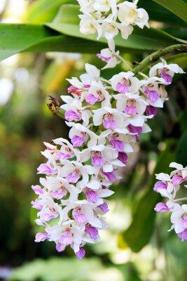 Adesivo Rhynchostylis orchidea.