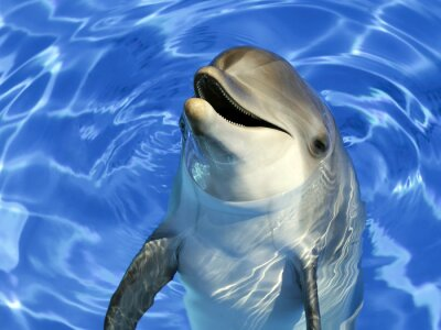 Adesivo Ritratto d'un delfino commun