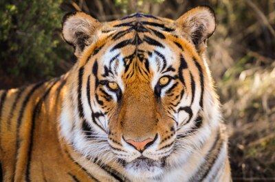 Adesivo Ritratto del primo piano di una tigre