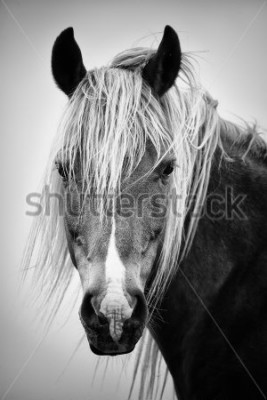 Adesivo Ritratto di cavallo bianco e nero