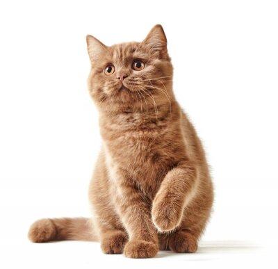 Adesivo Ritratto di gattino britannico
