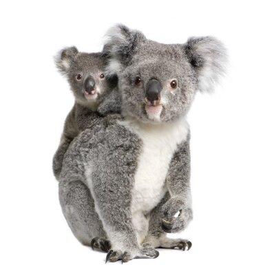 Adesivo Ritratto di Koala orsi, di fronte a sfondo bianco