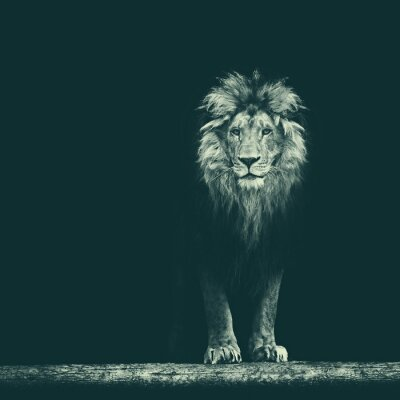 Adesivo Ritratto di una bella leone, leone nel buio