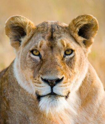 Adesivo Ritratto di una leonessa. Avvicinamento. Kenya. Tanzania. Masai Mara. Serengeti. Un ottimo esempio.