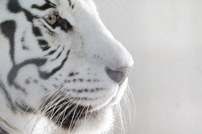 Adesivo Ritratto White Tiger