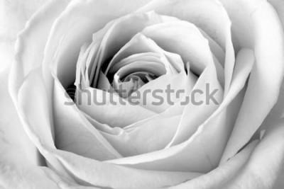 Adesivo Rosa bianca, macro in bianco e nero