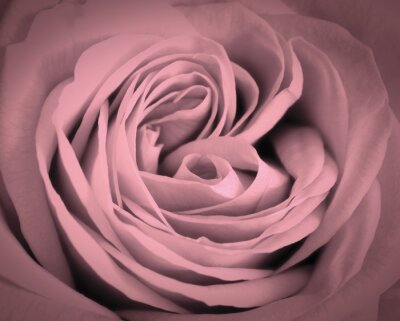 Adesivo Rosa rosa close-up di fondo. biglietto di auguri amore romantico