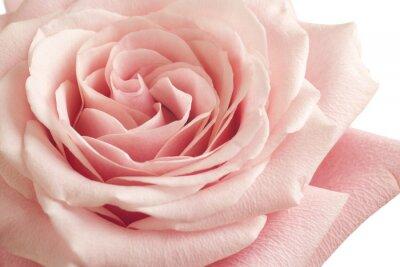 Adesivo rosa rosa primo piano