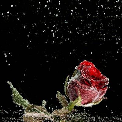 Adesivo Rosa rossa in gocce di rugiada su sfondo nero
