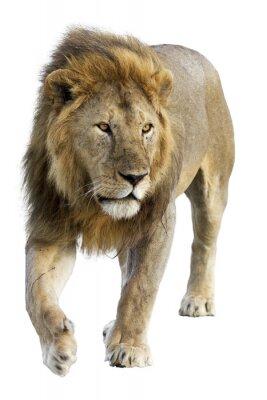 Adesivo Selvaggio gratuito leone maschio in roaming su sfondo bianco