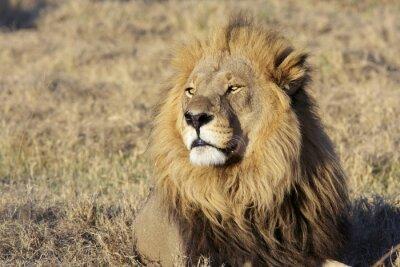 Adesivo Selvatica leone maschio ritratto