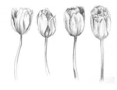 Adesivo Set of hand drawn tulips. Sketch, flower, illustration