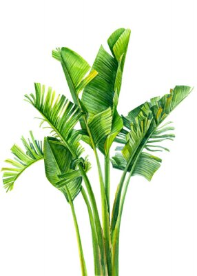 Adesivo set of jungle leaves, strelitzia on an isolated white background, botanical illustration, watercolor tropical plants