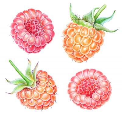 Adesivo Set of watercolor raspberries on white background
