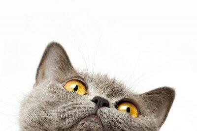 Adesivo Shorthair Gatto britannico