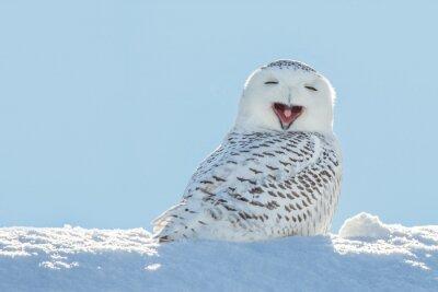 Adesivo Snowy Owl - Sbadigliare / sorridente in Snow
