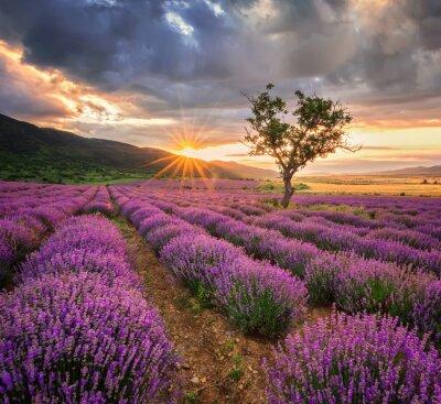 Adesivo Splendido paesaggio con campo di lavanda al sorgere del sole